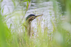 Green Heron camouflaged in pond vegetation Stock Photo