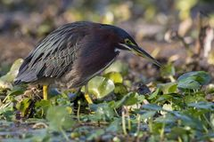 Green Heron looking for fish in a marsh in Florida Stock Photos