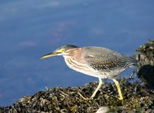 Green Heron looking for food Stock Images