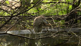 Green heron in a mangrove stock video footage