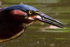 Green Heron and meal Royalty Free Stock Photography