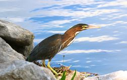 Green Heron Measuring Potential Prey Stock Photos