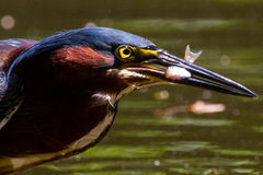 Green heron with minnow Stock Photos