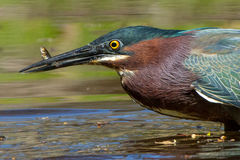 Green Heron and Minnow Stock Images