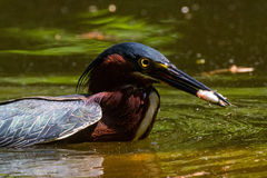 Green Heron and Minnow Royalty Free Stock Photo