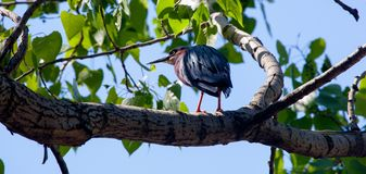 Green Heron on a Natural Perch. Green Heron perched on a tree branch in a local park on a summer day Stock Photos