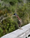 Green Heron with a black crown royalty free stock photos