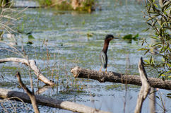 Green Heron Okefenokee Swamp Royalty Free Stock Photography