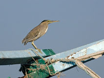 Green Heron on the Old Ship Royalty Free Stock Photos