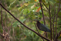 Green Heron perched on a branch Stock Photos