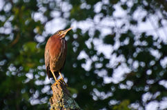 Green Heron Perched on a Stump Royalty Free Stock Image