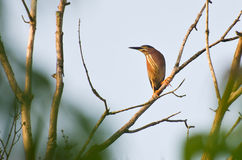 Green Heron Perched in Tree Stock Image