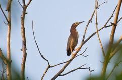 Green Heron Perched in Tree Stock Photography