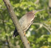 Green Heron Perching on Branch Stock Photography