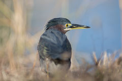Green Heron at a pond Stock Images