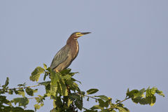 Green Heron Posing Royalty Free Stock Photography