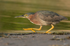 Green Heron on the prowl Royalty Free Stock Photos