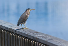 Green Heron on a Railing Stock Photos