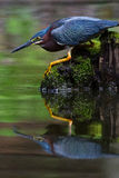 Green heron reflection. Green maroon heron on moss covered mossy stump reflected reflection in a serene pond Stock Photo