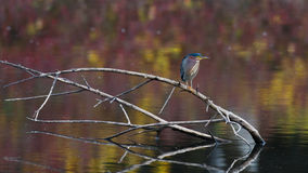 Green Heron at rest Royalty Free Stock Photos