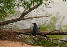 Green heron resting Royalty Free Stock Image