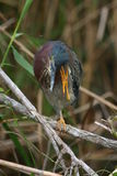 Green heron scratching Stock Photos