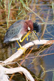 Green Heron Scratching Stock Photography
