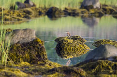 Green Heron seaweed-covered rock Royalty Free Stock Images