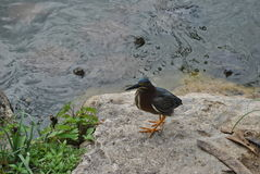Green heron on the shore of a pond. A green heron standing on the shore of a pond, with snapping turtles looking up from the water royalty free stock images