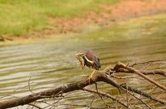 Green Heron Stock Photos