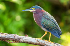 Free Green Heron Sitting On A Tree Royalty Free Stock Images - 76765229