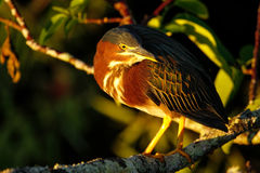 Green heron sitting on a tree Stock Photography