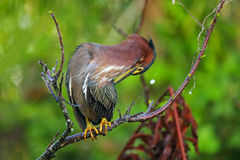 Green heron sitting on a tree Royalty Free Stock Image