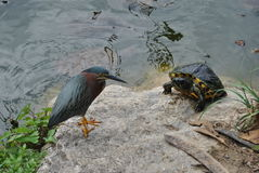 Green heron and snapping turtle. A green heron and a snapping turtle on the shore of a pond royalty free stock photo