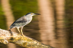 Green Heron South Africa Stock Photo