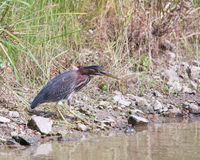 Green Heron stalking Stock Images