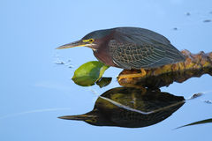 Green Heron Stalking its Prey. Green Heron (Butorides virescens) Stalking its Prey with a reflection in the water - Everglades National Park, Florida Royalty Free Stock Photography