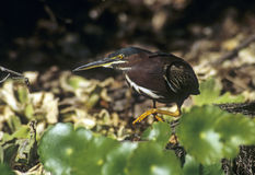 Green heron stalks prey Stock Images