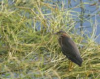 Wild Green Heron Bird standing in marsh grass Royalty Free Stock Photography