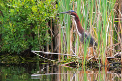 Green Heron Standing in Reeds Stock Images