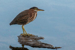 Green heron standing on a rock Royalty Free Stock Image