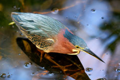 Green heron standing in water Stock Image