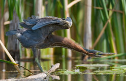 Green Heron Stretching Royalty Free Stock Photo