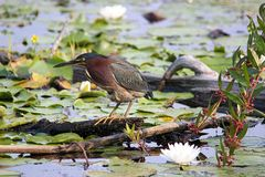 Green Heron. A green Heron surrounded by water lilies stock photo
