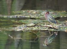 Green Heron Swallowing It`s Catch of a Large Blue Gill stock photos