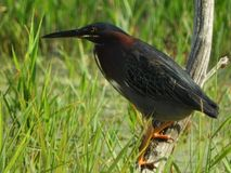 Green Heron on swamp branch during NYS summer Stock Photography
