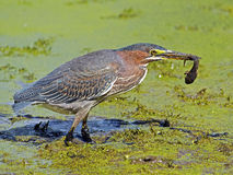 Green Heron With Tadpole Stock Photos