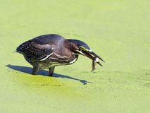 Green Heron With Tadpole Stock Image