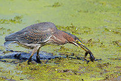 Green Heron With Tadpole Royalty Free Stock Photo