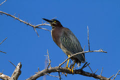 Green Heron on a tree. Green Heron (Butorides virescens virescens) resting on a tree Royalty Free Stock Image